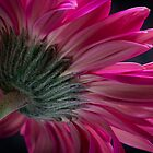 Pink flower by Edgar Laureano