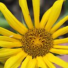 raindrop on sunflower by Joshua Fronczak