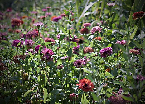 Walking Through The Zinnias by Sherry Hallemeier
