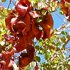 Kimberley Bauhinia Seed Pods by DianneLac