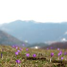 Crocus vernus meadow by Jenella