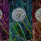 Trio of Dandelions  by BlossomingBeth
