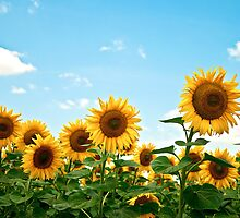 Sunflower field by Jenella