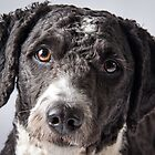 Spanish Water Dog by dazb75