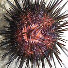 Sea Urchin Belly iPhone/iPod Case by KimSha