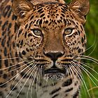 Amur Leopard by JMChown