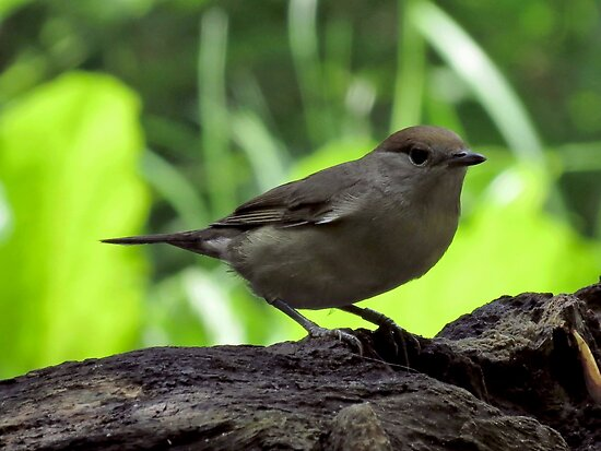 Female Blackcap by Peter Wiggerman
