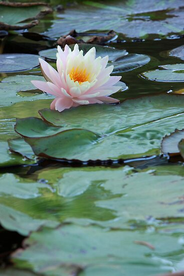 Water Lily Surrounded by Lily Pads by Robert Armendariz