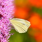 cabbage butterfly on orange by Jicha