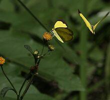 Common Grass Yellow Butterflies by Nikki25