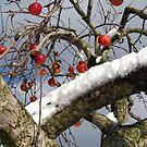 Bird Beaten Leftovers Hang on the Old Apple Tree by M-EK
