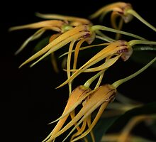 Dendrobium Star of Gold by andrachne