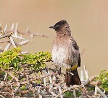 On Watch    Cape Bulbul by Warren. A. Williams