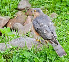 Sparrow Hawk by M.S. Photography & Art