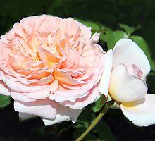 Peony Flowers by vette