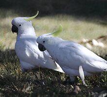 Two Cockatoos by yolanda