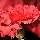 red rose closeup by Laurast