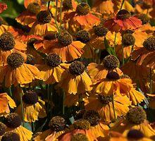Helenium (Sahin's Early Flowerer) Flowers by Photokes