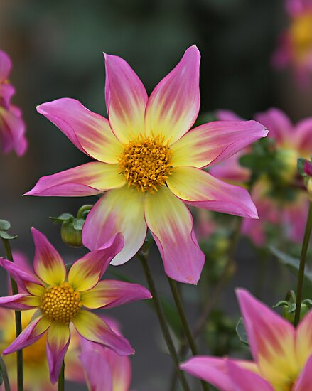 Dahlia Trelyn Seren Flowers by Photokes