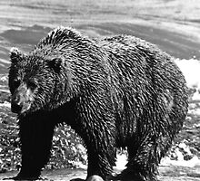 BW USA Alaska brown bear 1970s by blackwhitephoto