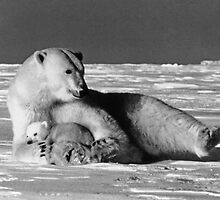BW USA Alaska mother polar bear 1970s by blackwhitephoto
