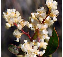 Spring Blossoms # 1 (Lunate-leaved Acacia) by George Petrovsky