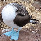 headless blue footed boobie  by Anne Scantlebury