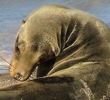 sea lion by Anne Scantlebury