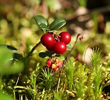 twig cranberries by mrivserg
