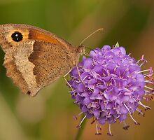 Meadow Brown Butterfly by Jon Lees