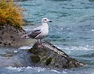 Gull on the Chilkoot River by Yukondick