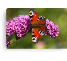 Peacock Butterfly, Darlington  County Durham, England Canvas Print
