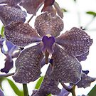 Purple Orchid by JagiShahani