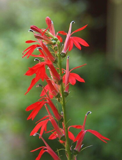 Cardinal Flower by Linda  Makiej