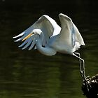 Great Egret on takeoff by Nancy Barrett