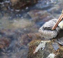 Brown Pelican by Shelley Neff
