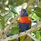 Brilliant Rainbow Lorikeet, Magnetic Island, Queensland. by Rita Blom