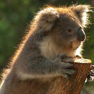 Young Koala by DavidsArt