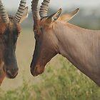 Antelope, Maasai Mara national park, Kenia by Konstantin Zhuravlev