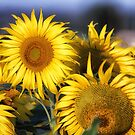Sunflowers in Peagreen by Susan Humphrey