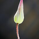 Clematis Bud by Ticker