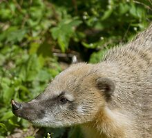 South American Coati by Vac1