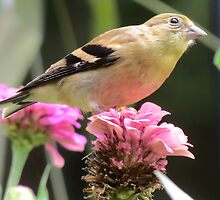 Female American Goldfinch  by Ron Russell