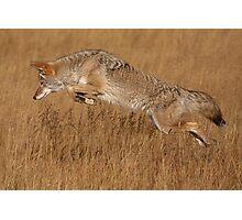 Coyote in Flight Photographic Print