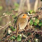 robin red breast by holljw