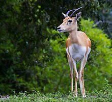 Mhorr's Gazelle by Ray Chiarello