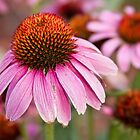 Purple Coneflower by Bo Insogna