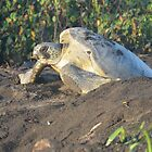 sea turtle leaving her nest after covering her eggs. by Margaret  Shark