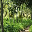 Hiking trail through aspen poplar trees. by Jim Sauchyn