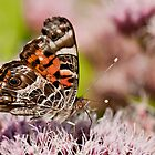 Vanessa virginiensis by Csar Torres